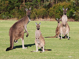 Kangaroos on the golf course!